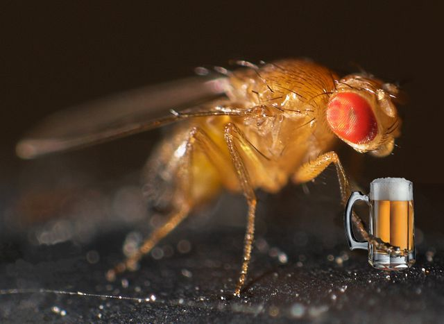 Fruit flies drink alcohol when they are sexually frustrated.