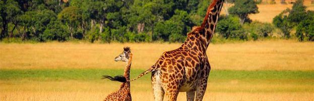 When a giraffe's baby is born, it falls from a height of 6 feet, usually without getting hurt.