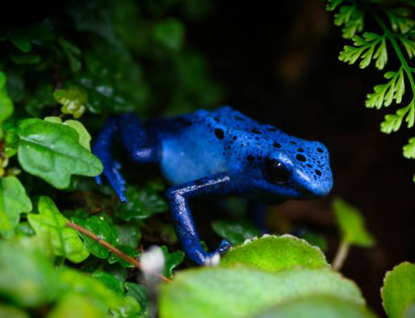 Poison dart frogs don't make their own poison. They get it from eating alkaloid-rich mites and ants, and they will become less toxic if their diet is changed.