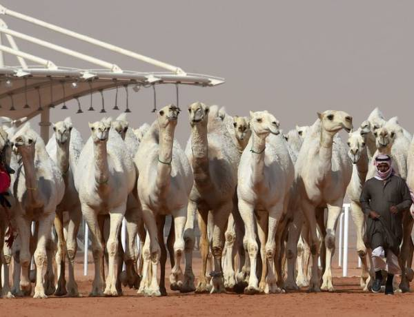 In Saudi Arabia, a dozen camels were disqualified from a camel beauty contest for getting Botox injections to make them more attractive.