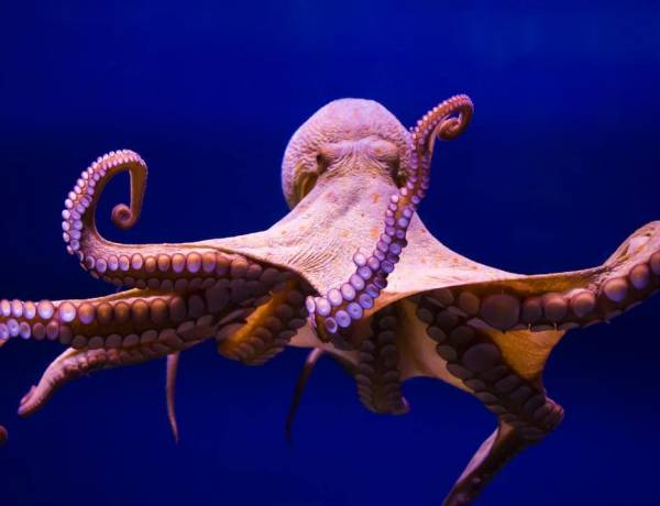 Octopuses are older than dinosaurs.