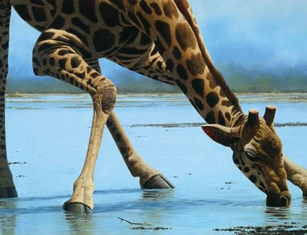 A giraffe can go without water longer than a camel can.