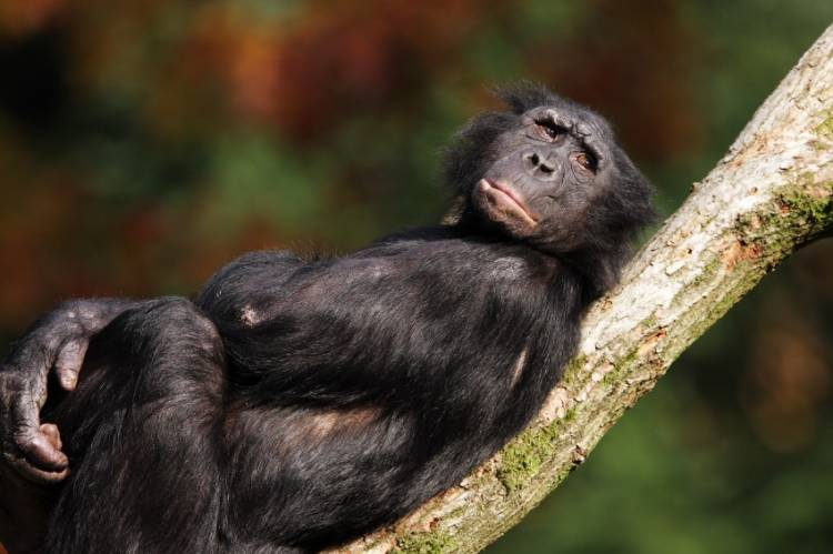 Scientists have discovered that just like humans, monkeys are susceptible to optical illusions.