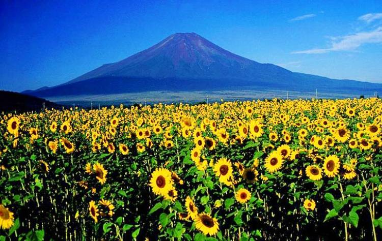 Sunflowers can be used to clean up radioactive waste by pulling radioactive contaminants out of the soil.