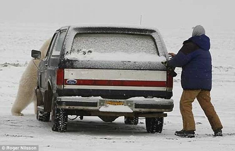 Residents of Churchill, Canada leave their cars unlocked to offer an escape for pedestrians who might encounter polar bears.