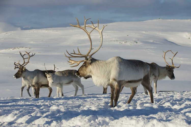 Reindeer are one of the only mammals that can see UV light.