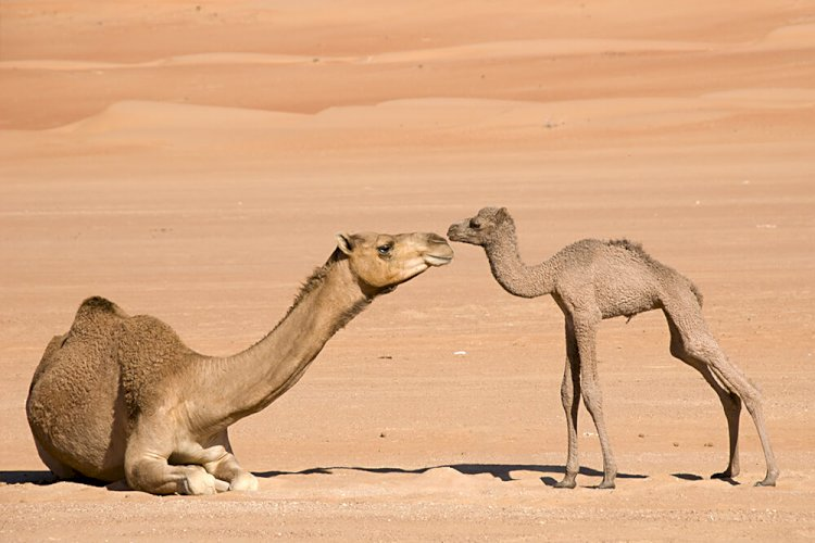 Camels are born without humps.