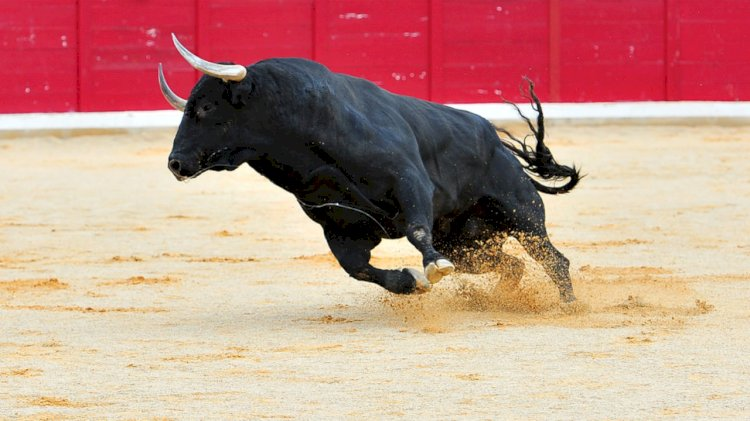 Bull's can run faster uphill than down.