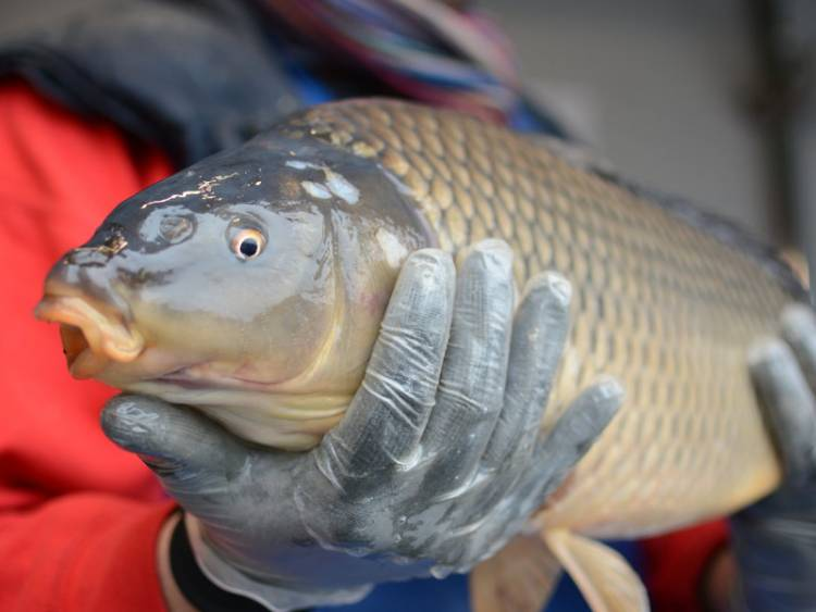 In Slovakia they have Christmas Carp that live in the family bathtub for a few days before they are eaten.