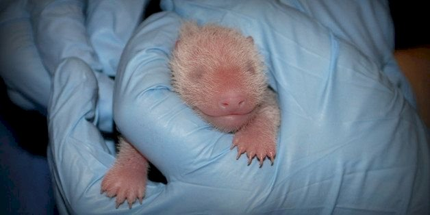 At birth, a baby panda is smaller than a mouse.
